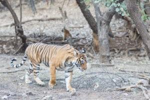 india tigre